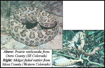 (prairie) rattlesnake